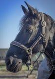 Trots paard Royalty-vrije Stock Foto