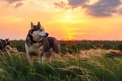 Trots schor hond die aan de rechterkant kijken stock fotografie