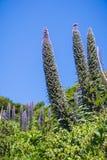 Trots van de bloem van Madera Echium Candicans, Marin Headlands State Park, de baai van San Francisco, Californië royalty-vrije stock afbeeldingen