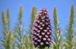 Trots van de bloemen van Madera Royalty-vrije Stock Foto