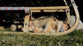 Trotse aardige gemberkat die op de tuin liggen stock video