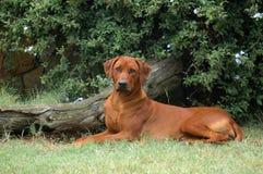 Trotse hond royalty-vrije stock foto