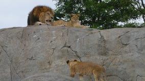 Trotse leeuw en leeuwin stock videobeelden