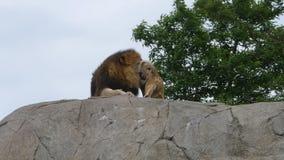 Trotse leeuw en leeuwin stock footage