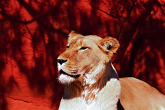 Trotse leeuwin Stock Afbeelding