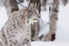 Trotse lynx in bos Royalty-vrije Stock Fotografie