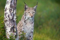 Trotse lynx die zich door een boom bevinden Stock Foto
