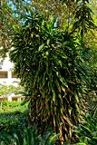 Trotse oude boom zoals struik met groene bladeren en rotte littekens Stock Fotografie