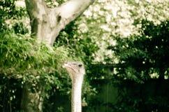 Trotse Struisvogel Stock Foto