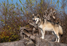Trotse Wolf stock foto