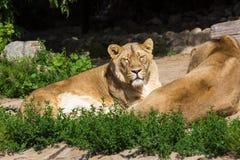 Trotsrust vóór de jacht, de jonge mannelijke Aziatische leeuw en het wijfje Stock Afbeeldingen