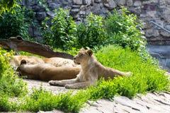 Trotsrust vóór de jacht, de jonge mannelijke Aziatische leeuw en het wijfje Stock Fotografie