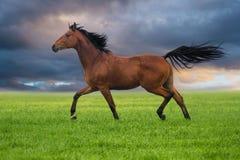 Trott лошади на зеленой траве Стоковые Фотографии RF