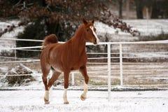 Trottando nella neve Fotografie Stock