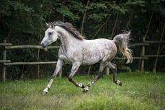Trottare arabo del cavallo Fotografia Stock