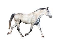 Trottare del cavallo bianco isolato su fondo bianco Immagine Stock