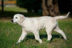 Trottare del cucciolo Immagine Stock