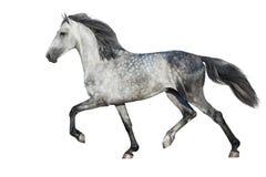 Trottare grigio del cavallo immagine stock