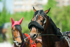 Trotters heads on racetrack before start Royalty Free Stock Photos