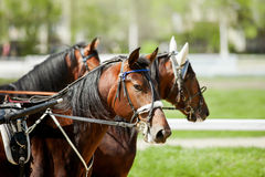 Trotters at hippodrome in sunny day Royalty Free Stock Image