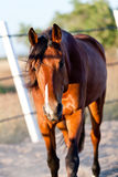 Trotteur francais trotter horse gelding outdoor. Brown trotteur francais trotter horse gelding outdoor in summer Stock Photography