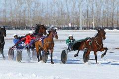 Trotteurs de chevaux sur un hippodrome Photos stock