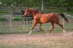 Trotting Arabian. Arabian gelding trotting in arena Stock Photos
