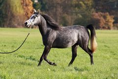 Trotting Arabian Beauty Royalty Free Stock Photo