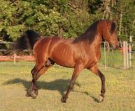 Trotting Arabian Stallion. Bay Arabian stallion trotting in arena Stock Images