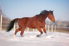 Trotting bay horse Royalty Free Stock Images