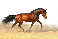Trotting bay stallion, isolated