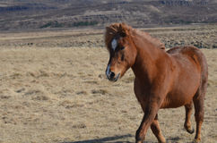 Trotting Chestnut Horse in a Field Royalty Free Stock Photography
