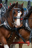 Trotting Clydesdale horse. Clydesdale horses pulling a carriage stock photo