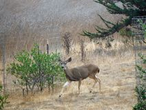 Trotting Deer Royalty Free Stock Photography