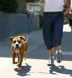 Trotting Dog and Jogger Stock Image