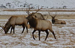 Trotting elk. A healthy bull elk trots past other, looking for it's favorite grasses Royalty Free Stock Photos