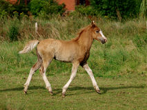 Trotting Foal Stock Photo