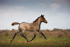 Trotting Foal. Stock Photography