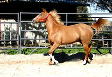 Trotting Horse. Sorrel quarter horse filly trotting in round pen, mane and tail flying, red halter, barn in background Stock Image
