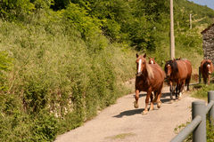 Trotting horse. Horses on the way home Stock Photos