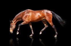 Trotting isolated. Bay stallion isolated on black Stock Image