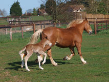 Free Trotting Mare And Foal Royalty Free Stock Photo - 29055005