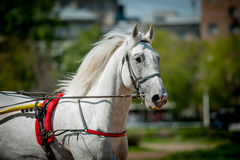 Trotting orlov russian horse in hippodrome portrait closeup Royalty Free Stock Image