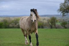 Trotting over to see you, a pony comes to look at the camera. royalty free stock photography