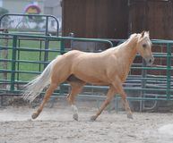 Trotting Palomino Horse Royalty Free Stock Image