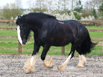 Trotting Shire Horse Royalty Free Stock Photography