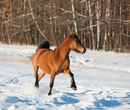 Trotting stallion Stock Photography