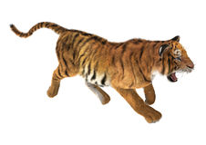 Trotting Tiger Stock Image