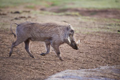 Trotting Warthog Royalty Free Stock Photography