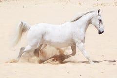Trotting white lusitano horse. A beautiful white Lusitano horse trotting through the desert Stock Images